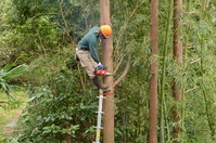 Pruning of cedar trees Stock photo [2528596] Kanagawa