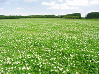 Grassland of white clover Stock photo [2528947] Shamrock