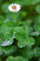 four-leaf clover that morning dew got off Stock photo [2529152] Clover