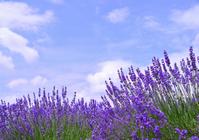 Lavender Stock photo [2637943] Lavender