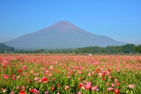 Poppy and Mount Fuji Stock photo [2638439] Flower