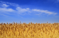 Wheat field Stock photo [2639180] Wheat