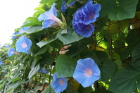 Ryukyu morning glory Stock photo [2644860] Plant