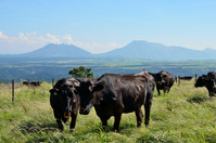 Aso Gogaku and black cattle. Stock photo [2646302] Aso