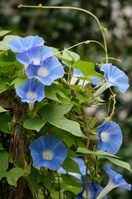 September of morning glory Stock photo [2723752] Plant