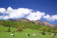 Yatsugatake Plateau and cattle Stock photo [2724114] Plateau