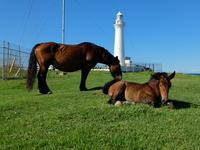 Shiriyazaki lighthouse and cold start-horse Stock photo [2724263] Aomori