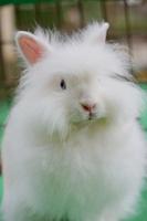 Angora rabbit fluffy Stock photo [2727707] Rabbit