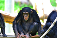 Chimpanzee Stock photo [2730297] Chimpanzee