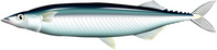 Pacific saury [2732029] Pacific
