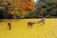 Nara Park deer and ginkgo yellow carpet stock photo