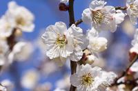 White plum Stock photo [2813772] White