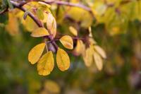 Autumn leaves of akebi Stock photo [2894888] Akebia