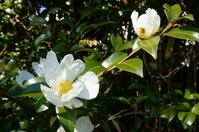 White sasanqua Stock photo [2896688] Camellia