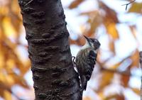 Japanese Pygmy Woodpecker Stock photo [2897287] Japanese