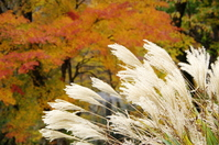 Pampas grass and autumn leaves Stock photo [2898933] Japanese