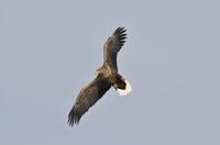 White-tailed sea eagle Stock photo [2974743] Wild