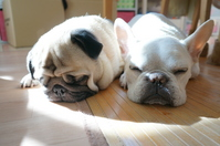 Nap of Fureburu and pug Stock photo [2976410] Dogs