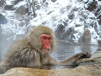 SnowMonkey bathing in a hot spuring with smile  Stock photo [92727] APE