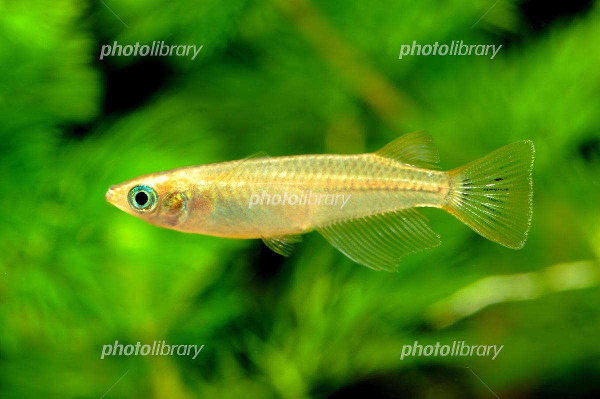 Killifish male Photo