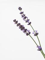 Purple lavender Stock photo [3148522] Lavender
