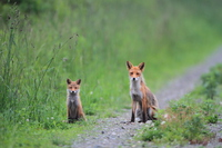 Parent-child fox Stock photo [3149217] Red