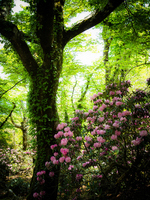 Amagi rhododendron and fresh green of Amagi Forest Stock photo [3150571] Mount
