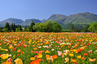 Iceland poppy and Kuju mountain range Stock photo [3150799] Kokonoe