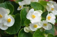 Begonia flowers Stock photo [3152306] Begonia