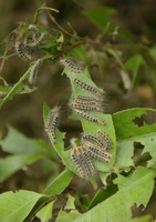 Larvae of Arna pseudoconspersa leaves of camellia Stock photo [3153952] Arna