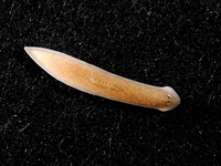 Planarian Stock photo [3155973] Funny