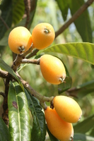 Loquat fruit Stock photo [3156916] Loquat