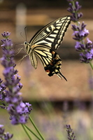 Swallowtail Butterfly Stock photo [3159004] Butterfly