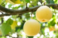 20th century pears. Stock photo [3261448] 20th