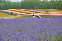 Hill lavender of Furano Shikisai Stock photo [3262258] Hill