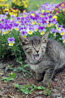 The pansy kitten that field yawn Stock photo [3263208] CAT
