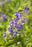 Scutellaria blue purple flower Stock photo [3267390] Baikal