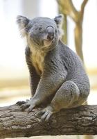 Koala Stock photo [3358110] Koala