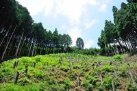Kitayama sugi Stock photo [3359469] Trees