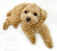 Toy poodle Stock photo [3360288] Dogs