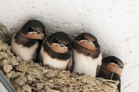 Swallow chicks Stock photo [3361834] Swallow