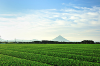 Contact tea plantations and Kaimondake Stock photo [3443879] Field