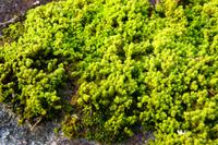 Hijikigoke Stock photo [3445708] Lichen