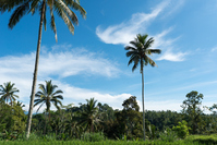 Tree of Bali Jatiruu~i palm Stock photo [3449995] Palm