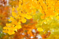 Yellow leaves the ginkgo and Sunlight Stock photo [3451116] Plant