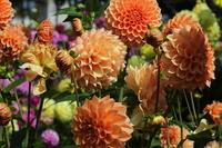 Bustling dahlia flowers and buds Stock photo [3451425] Dahlia