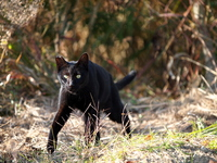Panther like a cat Stock photo [3452479] CAT
