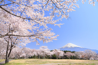 Cherry Blossom tree and Mt Fuji stock photo