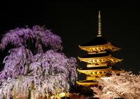 Cherry blossoms of Toji Stock photo [3538327] Cherry