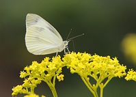 The cabbage butterfly to Ominaeshi of flower Stock photo [3539036] Ominaeshi